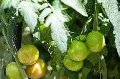 Производство тепличных овощей с начала года выросло на 20%