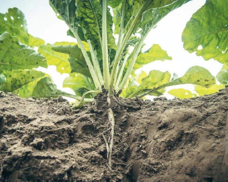Не экономить на свекле. Соблюдение технологии выращивания требует от аграриев серьезных затрат