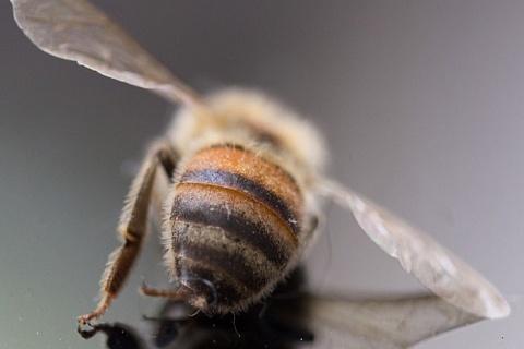 В России массово гибнут пчелы