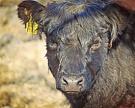 Инвестпроекты обеспечат прирост вмясном животноводстве