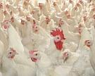 «Мираторг» запустил мясоперерабатывающий комплекс по убою цыплят-бройлеров