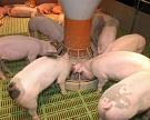 «Кубанский бекон» вложил 2,4 мрлд рублей вновый свинокомплекс