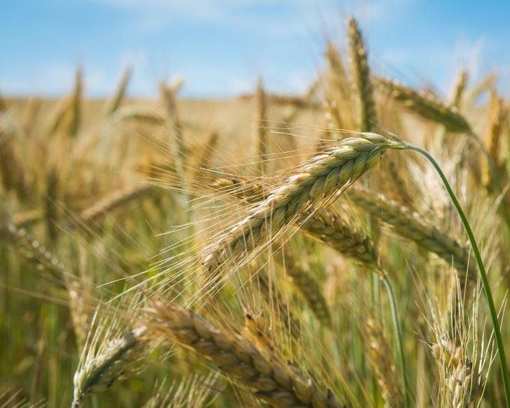 Экспортные цены напшеницу снизились впервые сдекабря