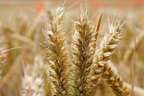 Минсельхоз США: урожайность пшеницы в России будет ниже прошлогодней
