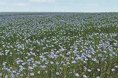 «Промагро» введет в севооборот 5 тысяч гектаров для производства льна