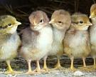 Птица вассортименте