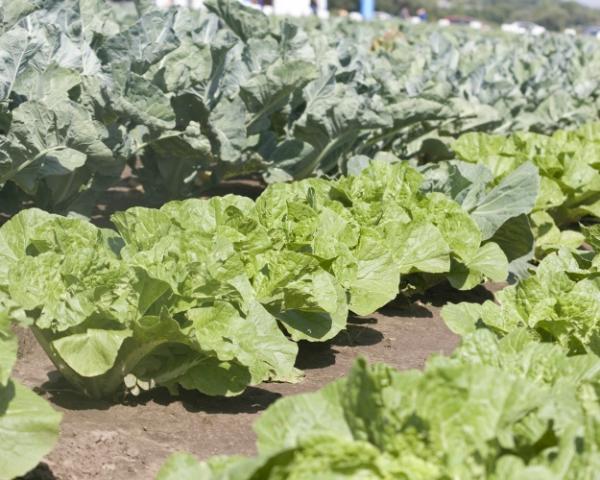 Погода сказалась накачестве овощей