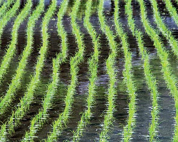 «Агрокомплекс» им.Н. И. Ткачева покупает все рисовые активы агрохолдинга «Разгуляй»