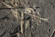 Власти Крыма ожидают двукратного снижения урожая зерна из-за засухи
