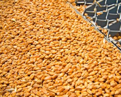 «Саратовские биотехнологии» начали строительство завода по глубокой переработке пшеницы