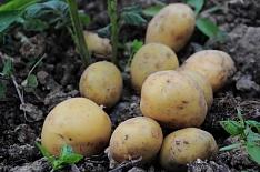 Сбор товарного картофеля увеличится на 200 тысяч тонн