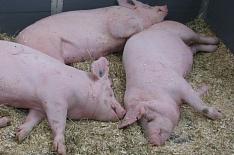 «Мерси Трейд» уничтожит 22 тысячи свиней из-за ящура