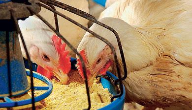 «Микроклеточная технология» сделала биодобавку для птицы