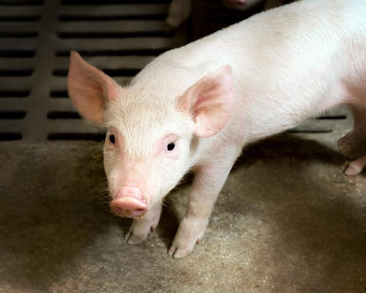 Инновации для свиньи. Новые разработки для поддержания здоровья животных