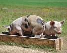 Кормление свиней отходами сбережет леса