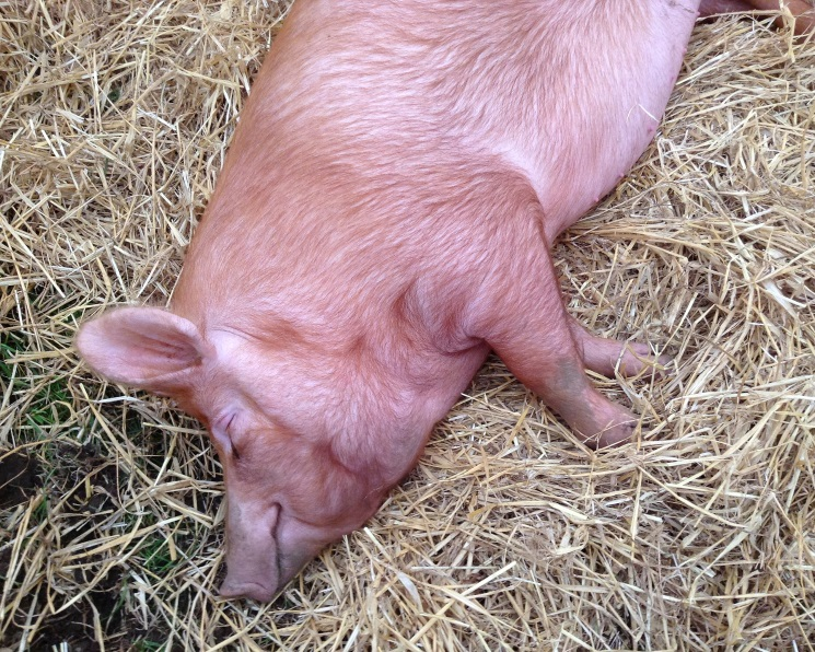 ВТюменской области впервые обнаружена чума свиней