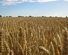 Минсельхоз повысил прогноз по сбору зерновых до 113 млн тонн