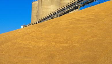 Запасы зерна уагропредприятий снизились на1,2%