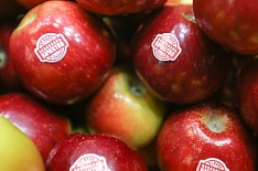 Урожай яблок может достигнуть миллиона тонн
