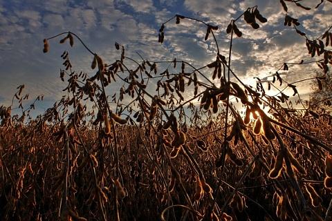 В Приамурье дожди нанесли урон посевам сои