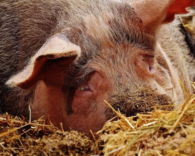 Новые вспышки чумы свиней обнаружены вИвановской иВладимирской областях