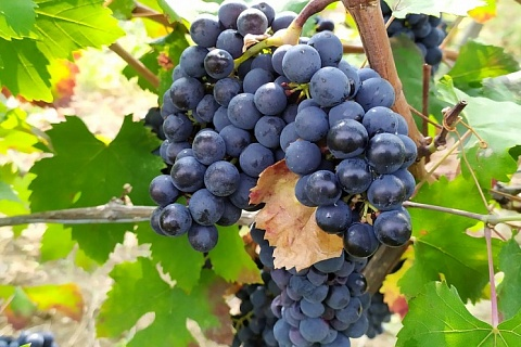 В России завершается сбор винограда