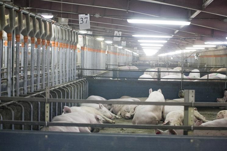 Чума свиней обнаружена уRussia Baltic Pork Invest