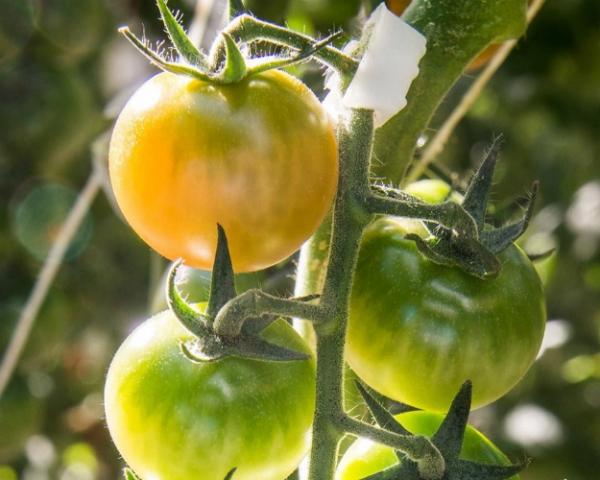 «Долина овощей» открывает новый тепличный комбинат