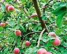Агро-Белогорье высадило 55 тыс. саженцев яблони вБелгородской области