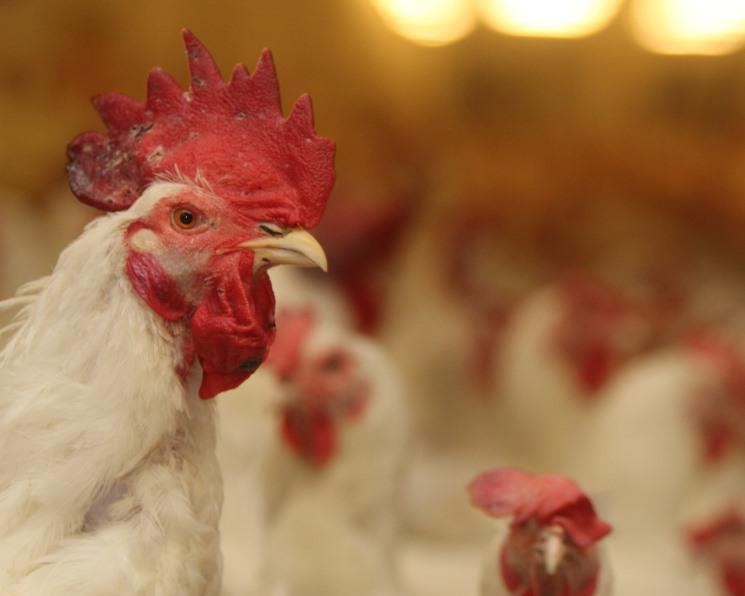 «Руском» намерен вложить 7,2млрдруб. в строительство птицефабрики в Тюменской области