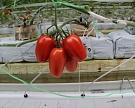 «Эко-культура» увеличит сахаристость томатов втрое