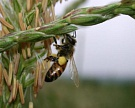Обработка семян неоникотиноидами может вредить пчелам