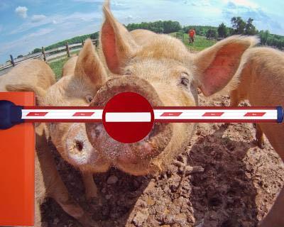 Белоруссия ввела запрет наввоз свинины изЛитвы