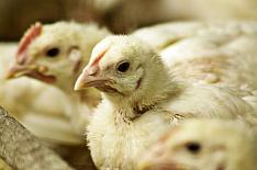 Инвесторы из «Сибнефти» вложат 5,5 млрд рублей в птицефабрику в Бурятии