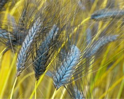 Древние сорта зерновых вернулись на поля