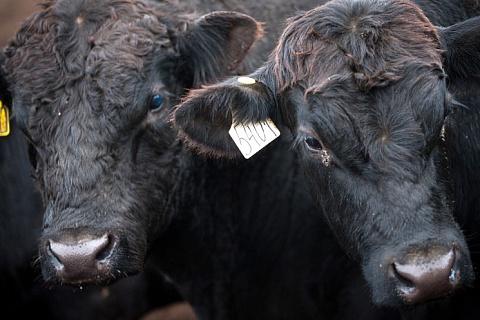 Доля говядины от КРС мясных и помесных пород увеличилась до 17%