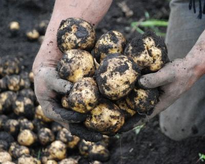 Способ борьбы с картофельной нематодой