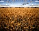 Минсельхоз: урожаи и экспорт зерна должны расти