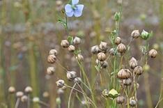 Россия может выйти на второе место по урожаю масличного льна