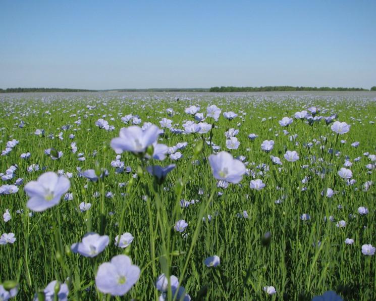 Российский урожай льна-кудряша впервые превысит 700 тысяч тонн