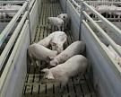 В Крыму снова обнаружена чума свиней