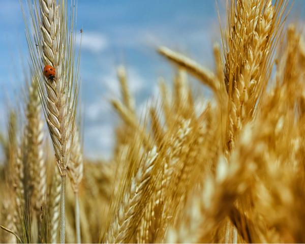 Еще один год в плюсе: хороший урожай и рост производства мяса снова обеспечат позитивную динамику АПК