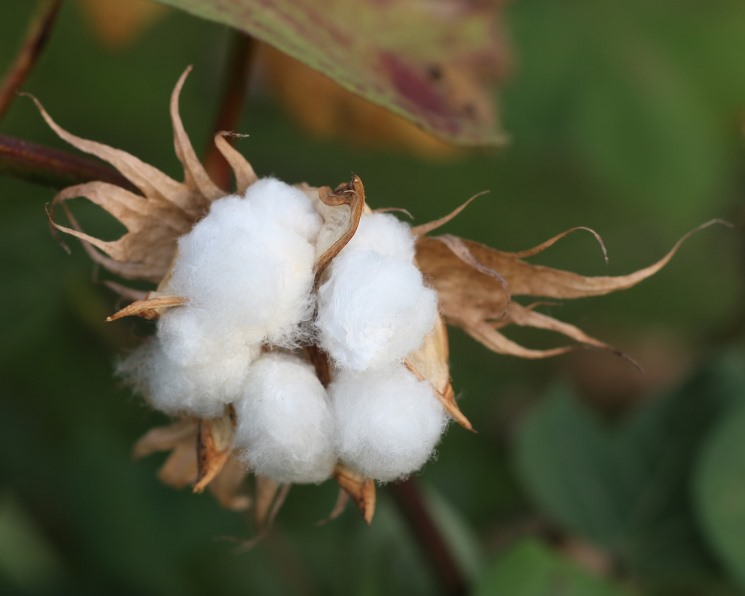 Высокая плотность посева хлопка не увеличивает урожайность