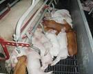«Правдинское свинопроизводство» построит новый комплекс