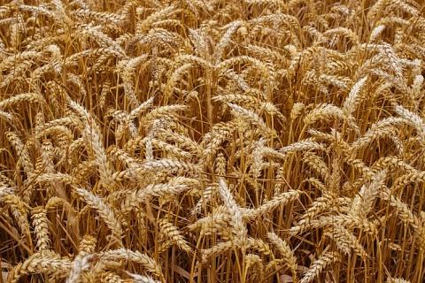 Аналитики скорректировали вверх прогнозы сбора зерна