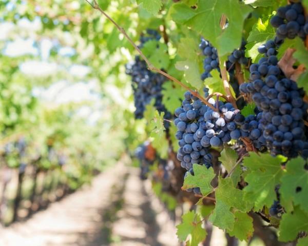 Агрофирма «Южная» стала лидером по сбору винограда в Краснодарском крае