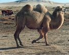Молочные опыты: ученые Казахстана сравнили коровье, верблюжье икобылье молоко