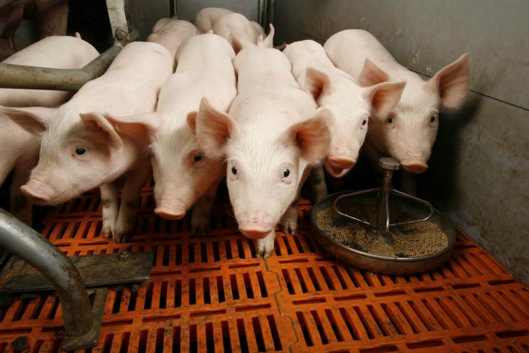 «Мираторг» удвоит мощности свиноводческого дивизиона