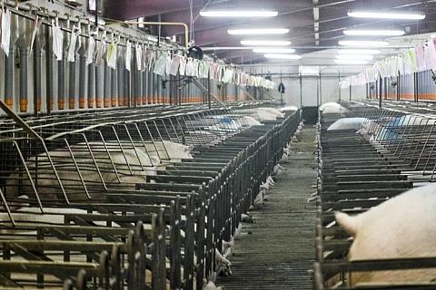 «Мираторг» оштрафуют за самовольное строительство свинокомплексов
