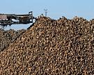 Россия не выполнит план сбора сахарной свеклы
